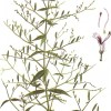 The king of bitters: andrographis paniculata